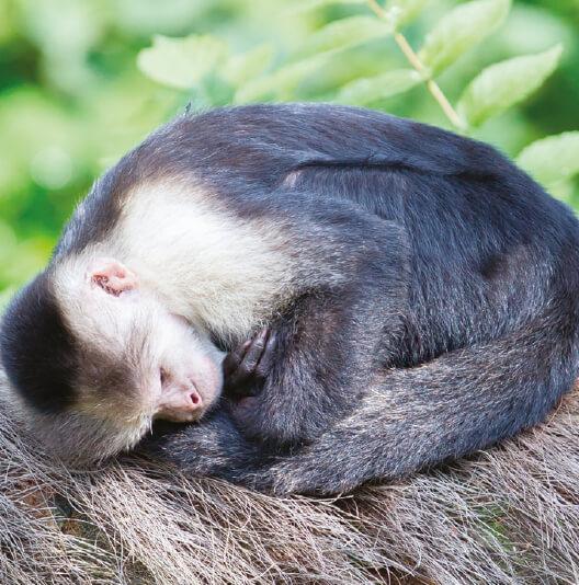 dieren-zuidamerika-witschouderkapucijnaap-fact-02