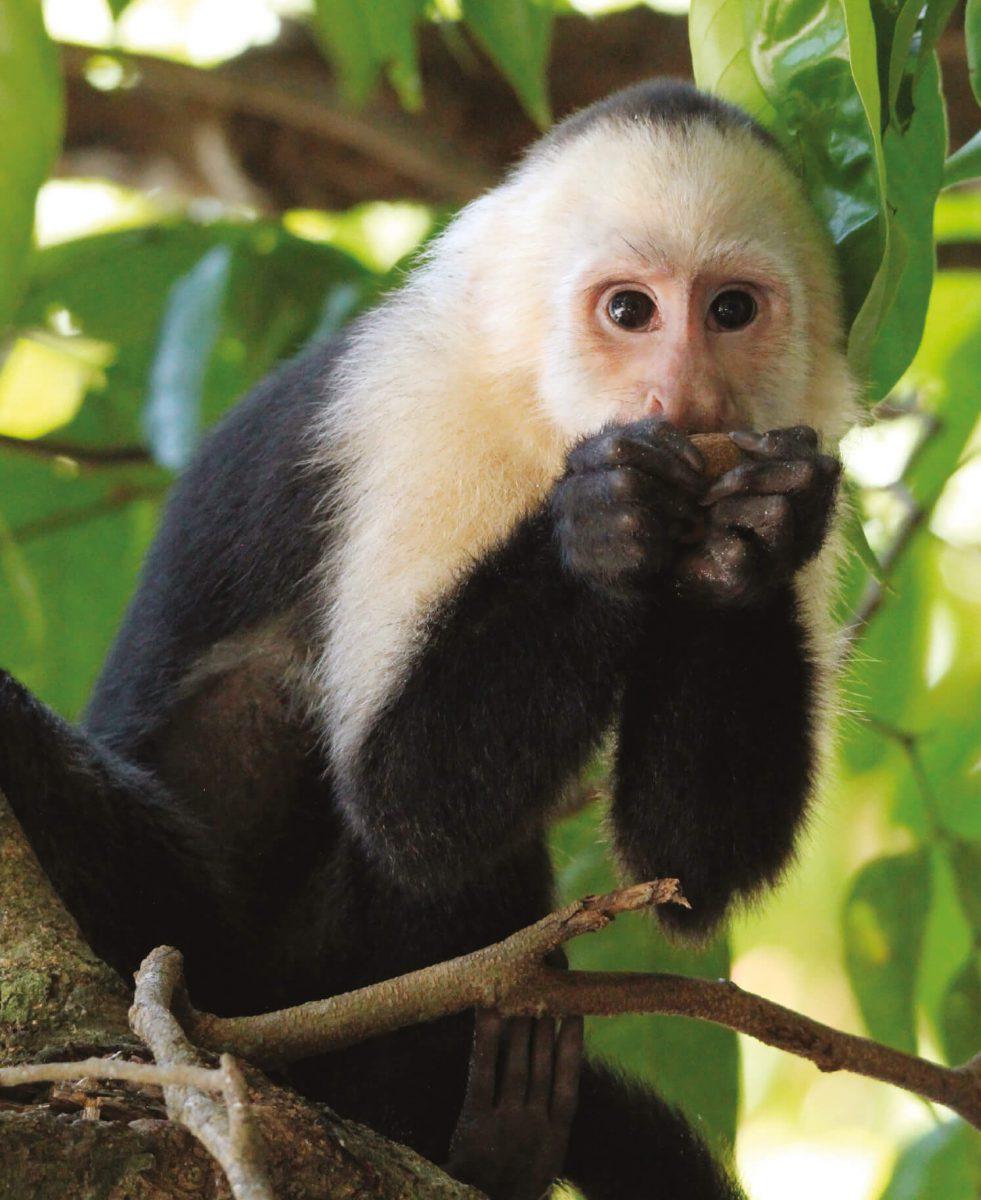 dieren-zuidamerika-witschouderkapucijnaap-hoofdafbeelding