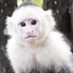 dieren-zuidamerika-witschouderkapucijnaap-pasfoto