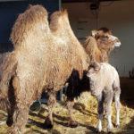 Kamelenjong en moeder