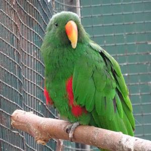Wijnborst amazone papegaai